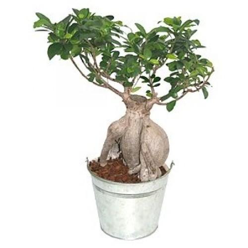 Автентичен Ficus Ginseng