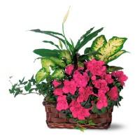 Аранжировка с азалея и растения